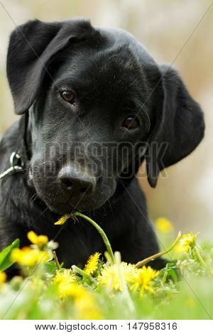 Beautiful purebred black Labrador puppy is lying on the summer grass with dandelions and looking directly at the camera. Good family dog resting on the nature. Closeup portrait