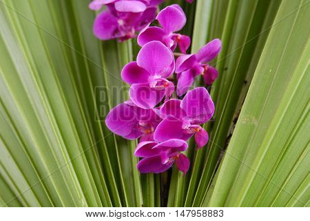 Pink branch Orchid flowers and palm leaves,