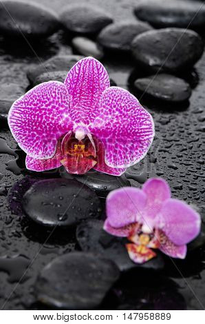 Two orchid with black stones-wet background
