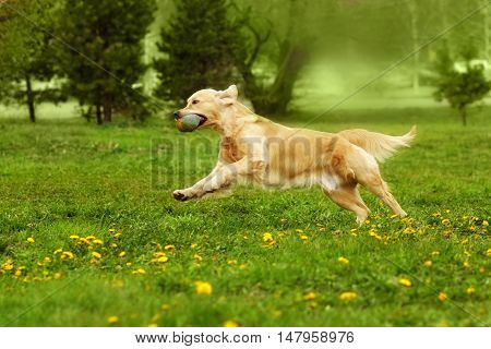 dog Golden Retriever playing in the Park in the summer running holding the ball in his teeth
