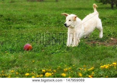 Funny puppy Golden Retriever plays in the summer in the meadow with a ball. A good family companion dog. Friend for children