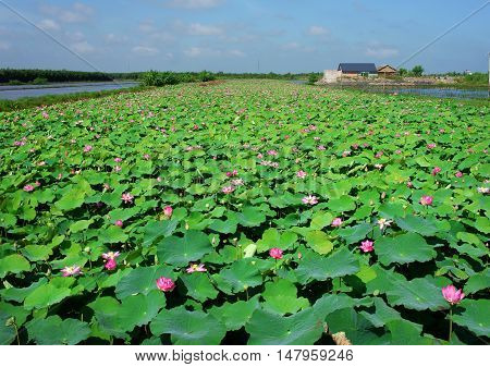 Wonderful landscape of Vietnamese countryside at Mekong Delta on day in summer vast lotus pond with green leaf and lotus flower beautiful nature for Vietnam travel