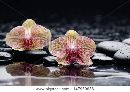 still life with two orchid and black stones