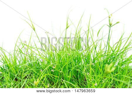Green grass on white background / grass isolated