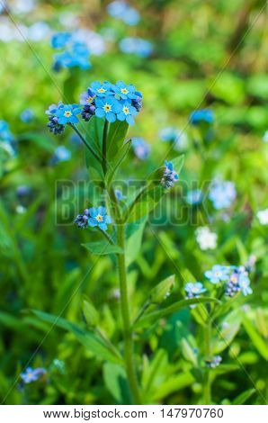 Beautiful blue forget me not flowers bunch