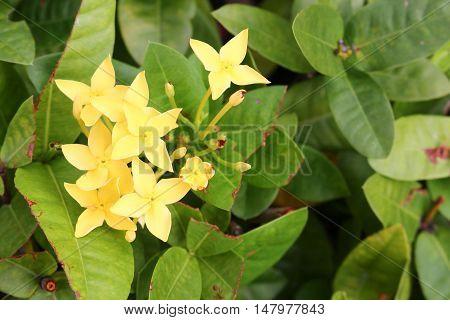 spike Rubiaceae  Yellow Flower in a garden