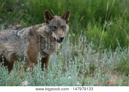 Whole wet Canis Lupus Signatus in the wild looking at the camera, side view