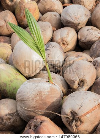 Coconut Plants Are Well Known For Their Great Versatility As Seen In The Many Domestic, Commercial,