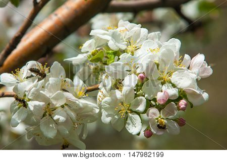 Apple Flowers, The Flowers Of Fruit Trees