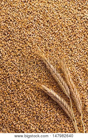 Processed organic golden wheat grains as agricultural vertical background. Lots of seeds texture and one ripe wheat ear on it, top view. Harvest and farming, bread making business.