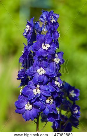 Delphinium. A Popular Garden Plant Of The Buttercup Family That Bears Tall Spikes Of Blue Flowers.