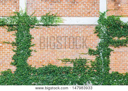 Ficus pumila L climbing on red brick wall Coatbuttons Mexican daisy
