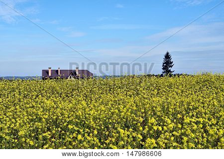 Golden field of flowering rapeseed (brassica napus) with blue sky and the roof of the house in the background