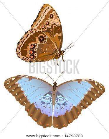 illustration with blue morpho isolated on white background