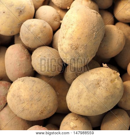 small and large new potatoes gathered together recent is / harvest fresh vegetables