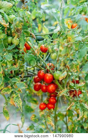 Vegetable garden with plants of red tomatoes. Ripe tomatoes on a vine, growing on a garden. Red tomatoes growing on a branch. Hydroponic tomatoes. Growing tomatoes in a greenhouse