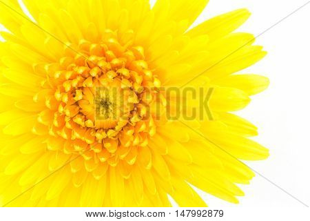 Closeup a yellow gerbera daisy flower isolated on white background.