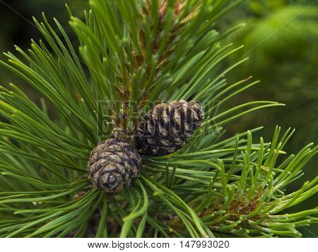 Two pine cones - View from Bucegi National Park Mountains, Romania