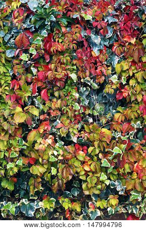 Colourful red and green leaves of climbing plants