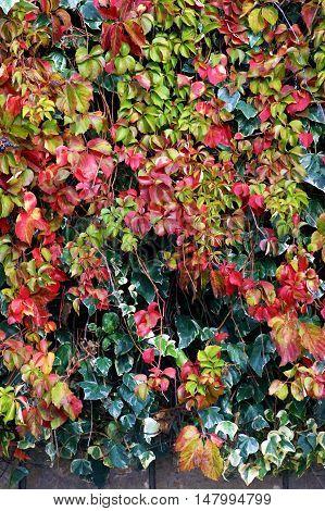 Bright parthenocíssus quinquefolia and ivy in autumn