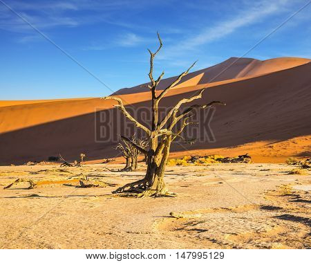 Beautifully curved a dry tree between orange dunes. The bottom of dried lake Deadvlei. Namibia, ecotourism in Namib-Naukluft National Park