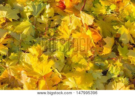 Background of fallen varicolored maple leaves in autumn sunny day