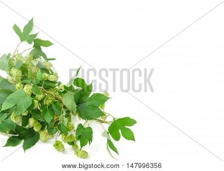 Background of intertwined branches hop with leaves and strobiles located in bottom left corner and empty rest of the frame