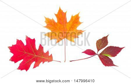 Three autumn varicolored leaves of red oak maple and ivy on a light background