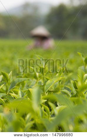 Close up of a tea bud with a tea farmer behind