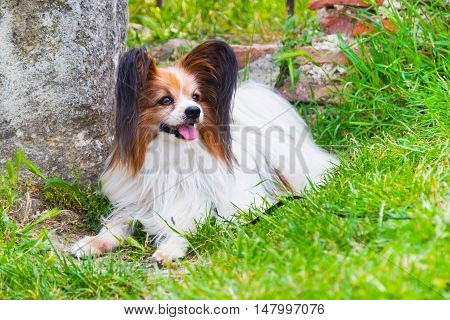 Portrait of cute Papillon dog lying in the green grass