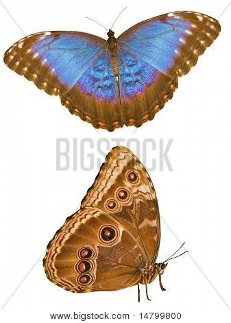 macro photo of morpho isolated on white background