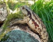 Far-Eastern Toad (Bufo Gargarizans) 6