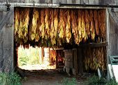 picture of tobacco barn  - tobacco plants hanging in a barn to dry - JPG