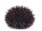 stock photo of echinoderms  - Sea Urchin - JPG