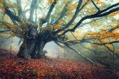 Mystical Autumn Forest In Fog In The Morning. Old Tree poster