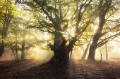 Magical Old Tree With Sunrays In The Morning. Foggy Forest poster