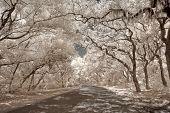 stock photo of tillandsia  - True infrared photo of oak trees  - JPG