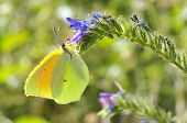 image of cleopatra  - Macro of male Cleopatra butterfly  - JPG