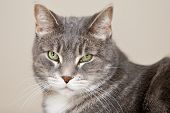 stock photo of tabby-cat  - A portrait of a grey tabby cat - JPG