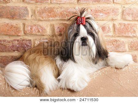 dog breeds shih tzu