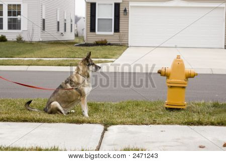 Dog Yearning For Fire Hydrant