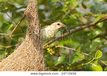 Female Baya Weaver Bird