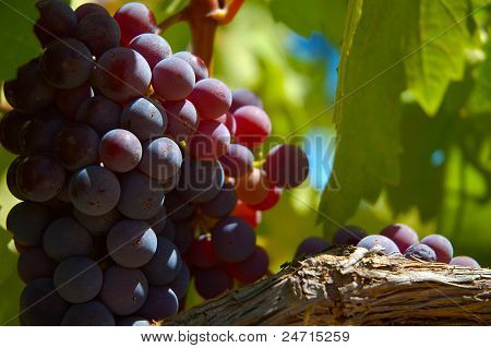 Grapes on the vine.