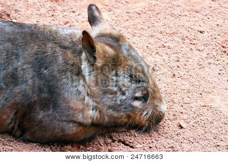 Southern Hairy Nose Wombat - Native Australian Animal - Lasiorhinus Latifrons
