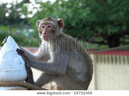Crab-eating Monkey In Rain Forest Park