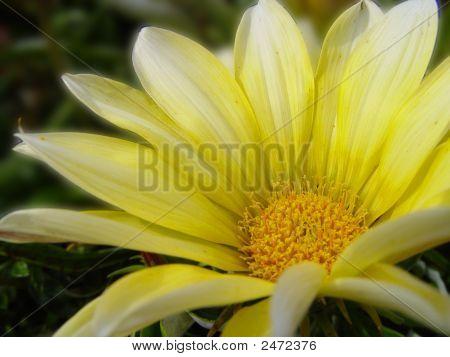 Flower Macro Yellow