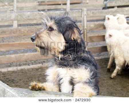 Beardy Sheep Dog