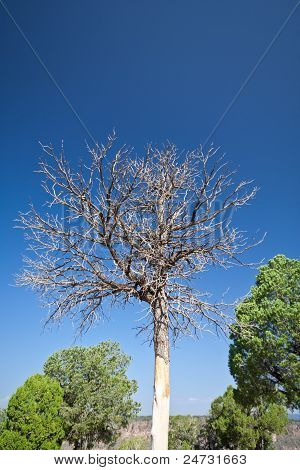 Dead Pinyon Tree Against Blue Sky, New Mexico Us