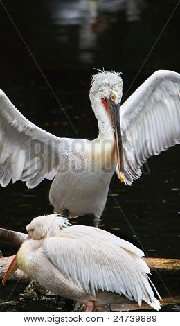 Two Resting Pelicans