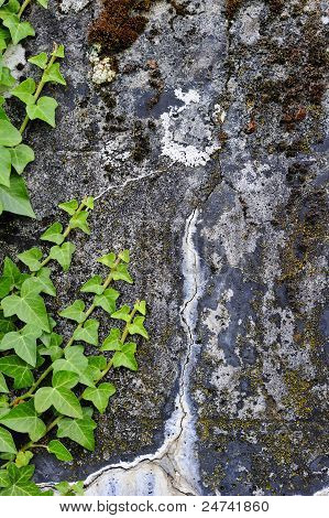 Ivy Growing Up A Stained Concrete Wall